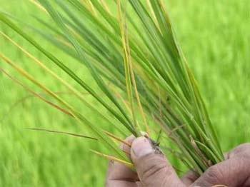 Một mẫu lúa bệnh vàng lùn