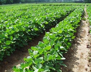 Ruộng đậu tương