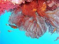 Một loại san hô vừa được phát hiện ở tỉnh Phang Nga miền nam Thái Lan.