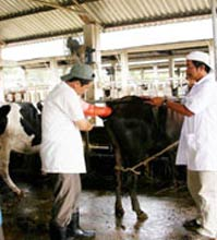 Đồng Nai: Nghiên cứu ứng dụng kỹ thuật cấy truyền phôi động vật trong việc nhân giống bò thịt, bò sữa cao sản