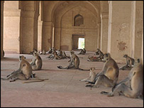 """Ấn Độ """"đau đầu"""" với nạn khỉ hoang"""