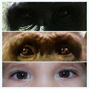 Mắt Gorilla, tinh tinh và mắt trẻ em.