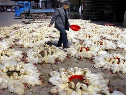 Trung Quốc xác nhận có cúm gia cầm biến thể