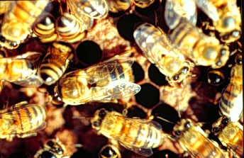 Ong mật điều hòa nhiệt độ trong tổ ra sao?