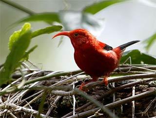 Chim có thể tuyệt chủng vì hiệu ứng nhà kính