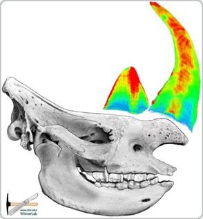 Các nhà khoa học giải đáp câu đố bí ẩn về sừng tê giác