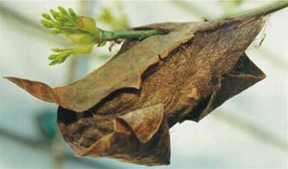 Vì sao kén của côn trùng bám rất chắc?