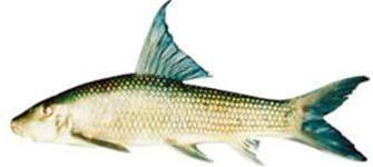 Phú Thọ: Phát hiện cá anh vũ tại vườn quốc gia Xuân Sơn