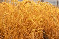 Khôi phục gien quý từ lúa mì dại