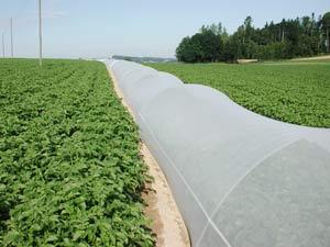 Trồng khoai tây KT2 trên đất 2 vụ lúa
