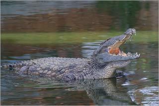Trái đất ấm lên khiến cá sấu cái bị 'ế'