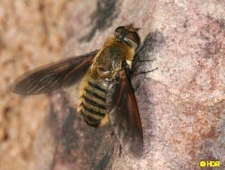 Ong có thể dò tìm bom