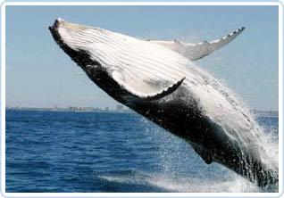 Ngôn ngữ cá voi phong phú hơn chúng ta tưởng