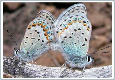 Hai loài bướm biến thành một