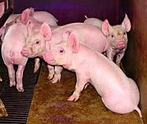 Bệnh ban nước ở lợn