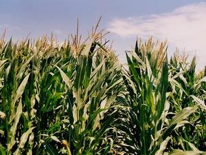 Hiệu ứng nhà kính làm giảm sản lượng lương thực