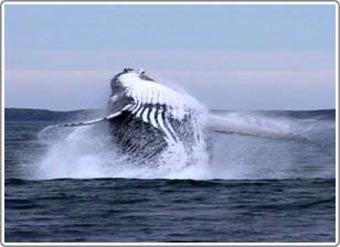Não cá voi có một phần giống như của con người