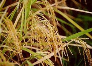 Giống lúa mới chịu lụt có thể giúp nông dân và môi trường