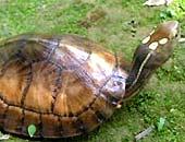 Phát hiện rùa 4 mắt đặc biệt quý hiếm