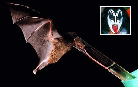 Phát hiện loài dơi có chiếc lưỡi dài kỷ lục