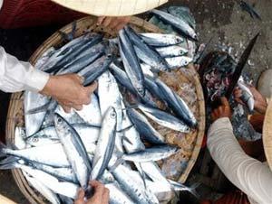 Dùng mật cá chữa bệnh: nguy cơ tử vong cao