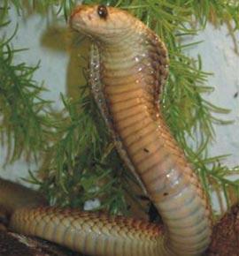 Bí quyết của rắn mang bành