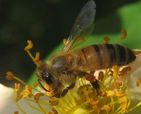 Tại sao ong ăn thịt đồng loại?
