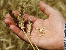 Gien giúp cho lúa mì có nhiều chất dinh dưỡng hơn