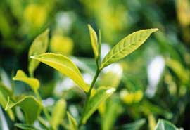 Tinh chất trà có thể chữa lành da bị tổn thương do xạ trị