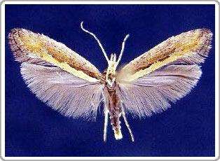 Một loại bướm mới có thể kháng lại cây có chứa Selenium