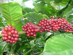 Để có vườn cà phê sạch năng suất cao