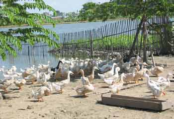 Hàng nghìn gia cầm đã bị chết dịch tại đồng bằng sông Cửu Long