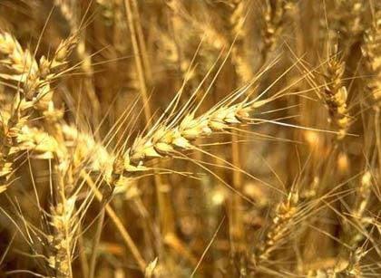 Lúa mì ngọt ra đời