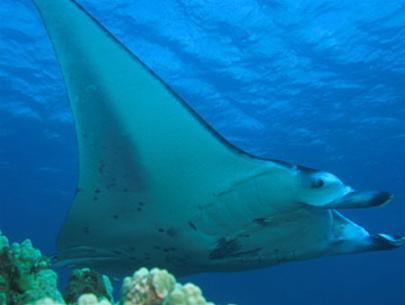 Cá đuối Manta, cư trú chủ yếu ở vùng biển nhiệt đới và cận nhiệt