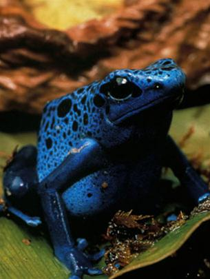 Loài ếch xanh sinh sống tại Suriname, Nam Mỹ có kích thuộc 3,5 cm là một trong số rất nhiều loài lưỡng cư có nguy cơ tuyệt chủng.
