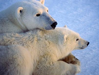 Theo dự báo, dân số loài gấu trắng bắc cựu sẽ giảm đi 30% trong vòng 45 năm tới. Nguyên nhân là do khí hậu ấm dần lên