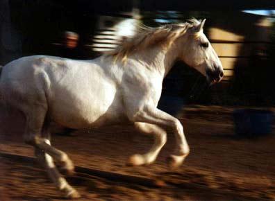 Bí mật của loài ngựa chạy nhanh