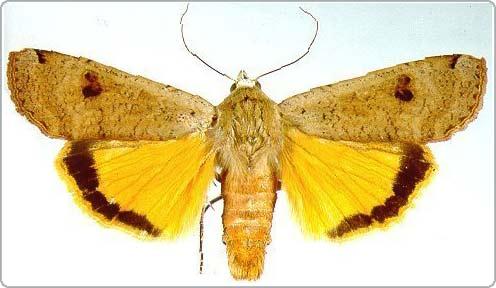 Loài bướm có khả năng điều chỉnh thính giác khi bị tấn công