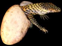 Kỳ đà Komodo cái sinh sản không cần con đực