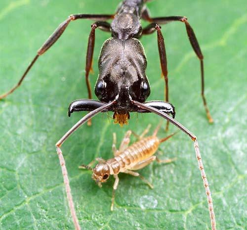 """Vì sao loài kiến """"thống trị"""" thế giới"""