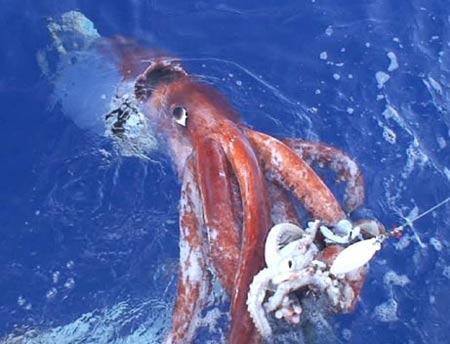 Nhật Bản: Công bố đoạn phim về con mực khổng lồ
