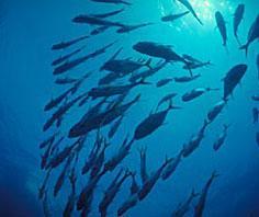 Năm 2009: Nguồn cá ngừ có thể giảm 37% do Trái đất ấm lên