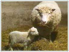Thịt của động vật được sinh sản vô tính không có gì khác thường