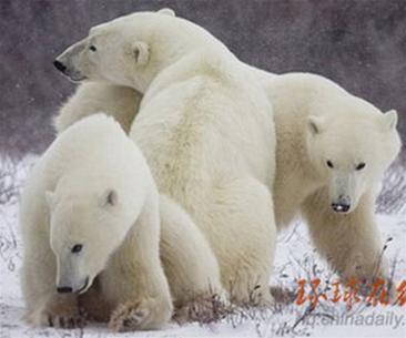Đề nghị đưa gấu Bắc Cực vào danh sách có nguy cơ tuyệt chủng