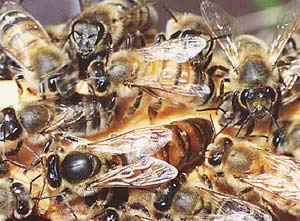 Ong chúa lăng nhăng vì con cháu