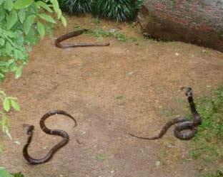 Trung Quốc: Dùng rắn để dự báo động đất