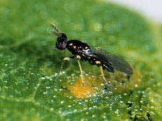Dùng ánh sáng để tiêu diệt côn trùng gây hại