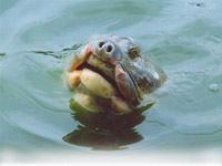 """""""Cụ"""" rùa lại nổi lên mặt Hồ Gươm"""