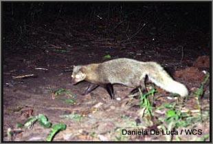 Phát hiện một loại cầy mangút hiếm thấy ở Tanzania- Châu Phi