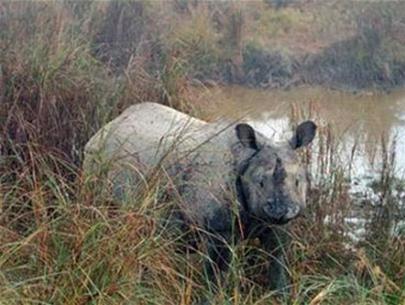 Nhiều tê giác Ấn Độ đột ngột mất tích